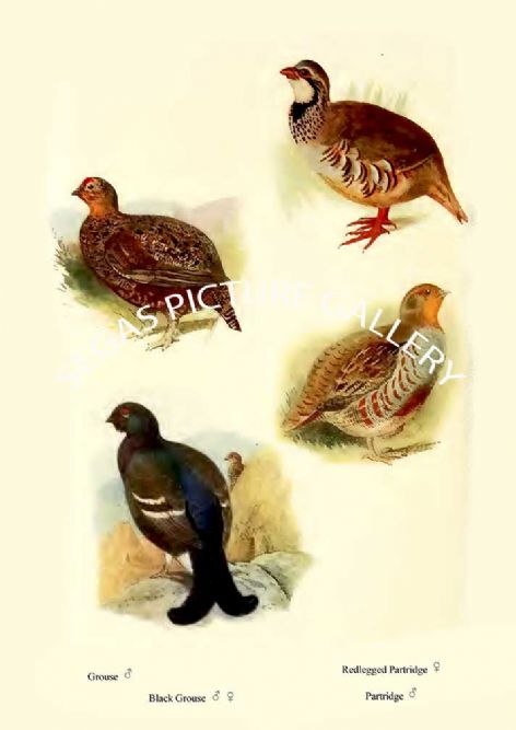 Fine art print of the Grouse, Black Grouse, Redlegged Partridge & Partridge by William Foster (1922)